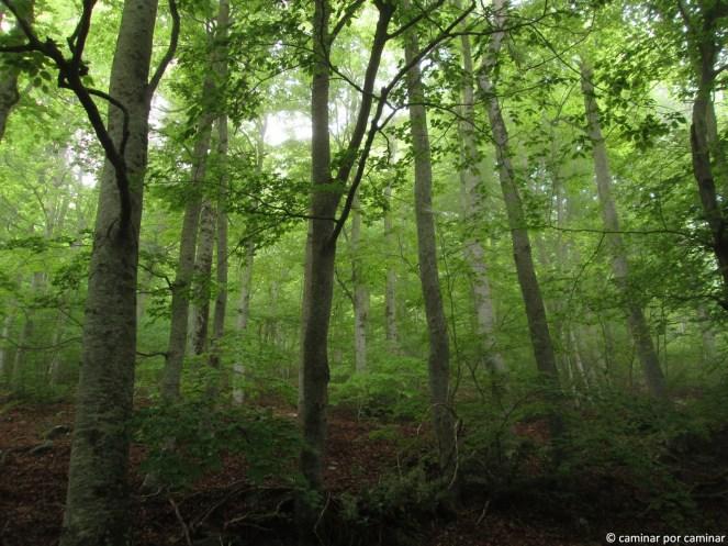 Espesura del bosque de hayas
