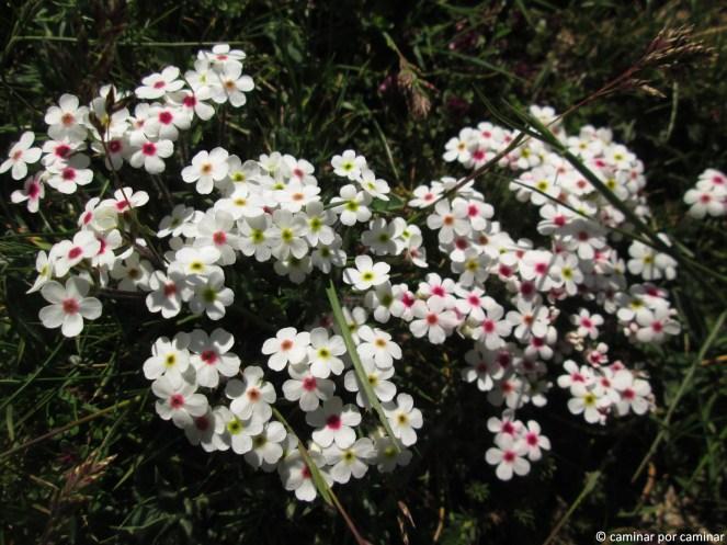 Androsace villosa, planta típica de pastizales de montaña