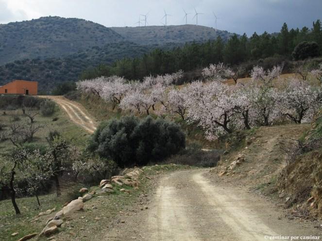 Campos de almendros a pocos metros del alcornocal
