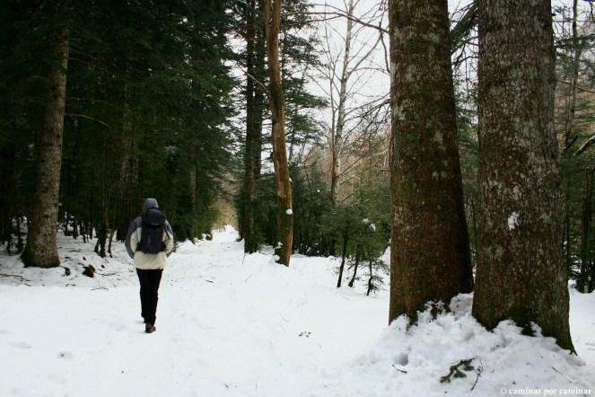 Senda nevada entre grandes árboles
