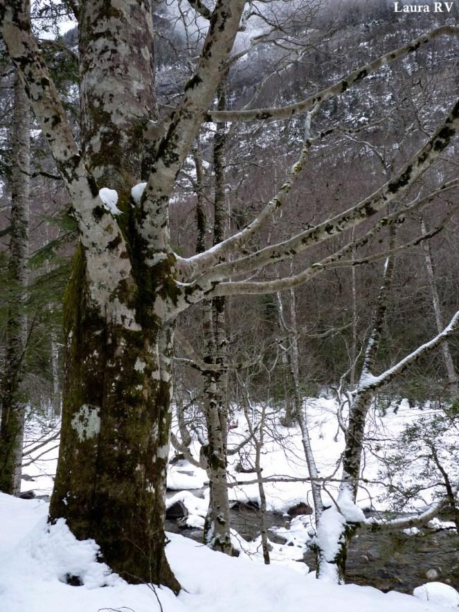 Árboles con carácter en la ribera del Arazas