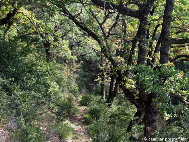 Quejigal inmenso en dirección a Berbusa