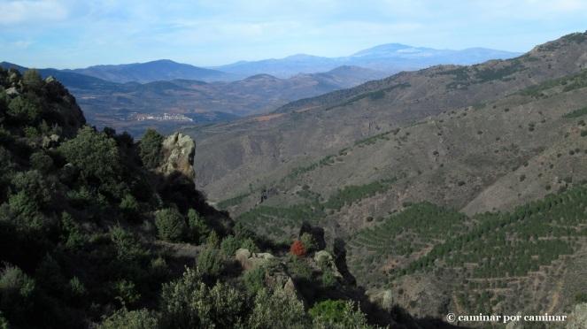 Hileras de pinos, Santa Cruz de Grío, Moncayo
