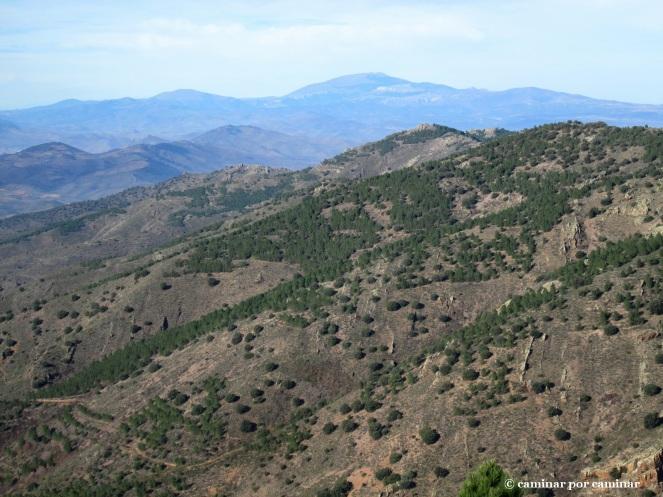 El verde del pino contrasta con la aridez de esta vertiente de Algairén