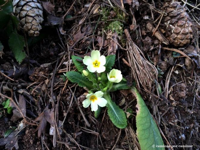 Prímulas o primaveras