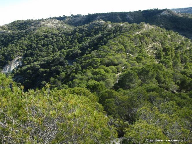 El pino carrasco reverdece las cotas más altas de las Planas