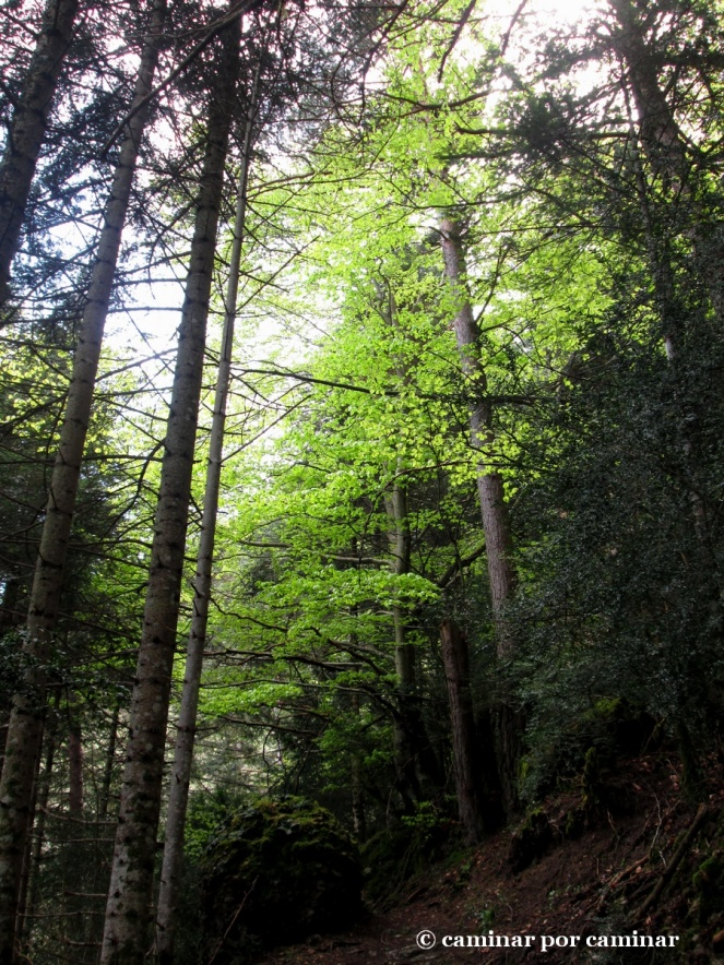El verde clorofila de las hayas nos abruma