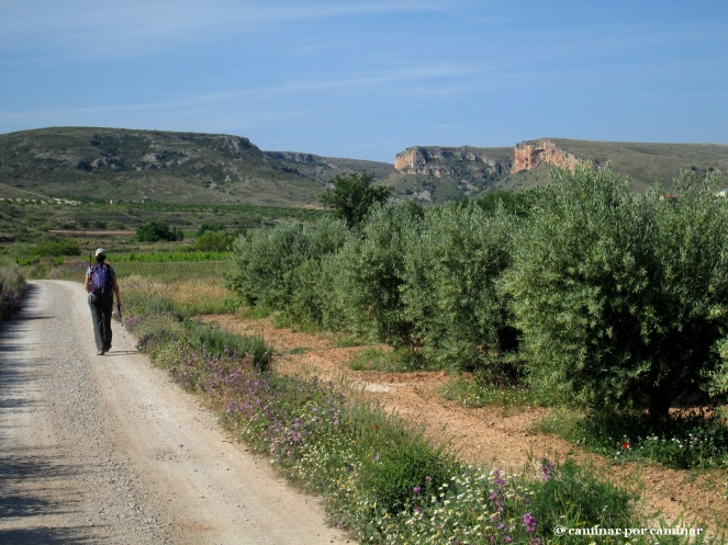 Olivares a la entrada de Mezalocha
