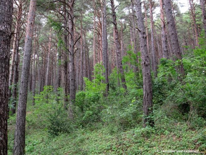Tupido pinar silvestre