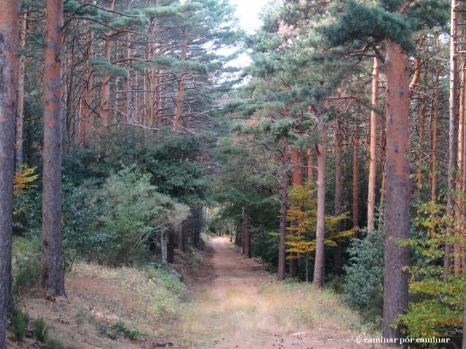Escoltados por grandes ejemplares de pino albar